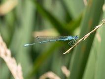 Lata dragonfly Makro- strzał dragonfly na zielonym liściu w t Obrazy Stock
