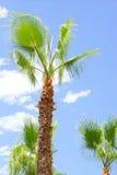 Lata drzewko palmowe w hiszpańskim miasteczku Obrazy Stock