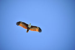 Latać Eagle obrazy stock