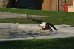 Latać Eagle Zdjęcia Stock