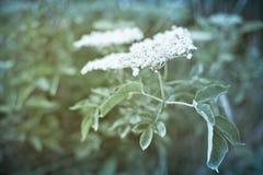 Lata Elderberry Zdjęcie Royalty Free