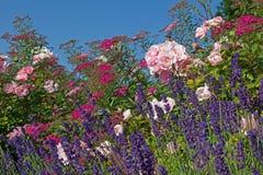 Lata flowerbed z fragrant lawendowy i różanym Obrazy Stock