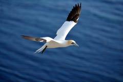 Latać Gannet w Helgoland Zdjęcie Royalty Free