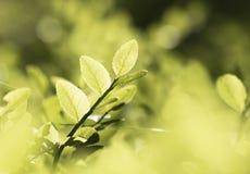 Lata greenery Fotografia Stock