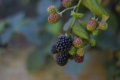 Lata, jesieni żniwa sezonowy owocowy pojęcie/ Czernicy obrazy royalty free