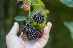 Lata, jesieni żniwa sezonowy owocowy pojęcie/ Czernicy fotografia stock