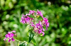 Lata kwitnienia menchii delikatni kwiaty zdjęcia royalty free