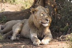 Lata lejon Arkivfoton