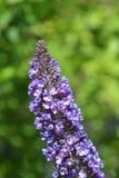 Lata lily Empirowy błękit zdjęcie stock