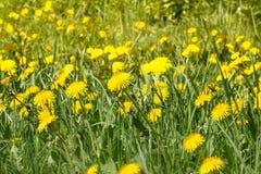Lata literowania karta skład z żółtymi dandelion kwiatami zdjęcia stock