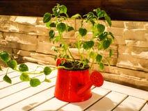 Lata molhando com planta Fotos de Stock Royalty Free