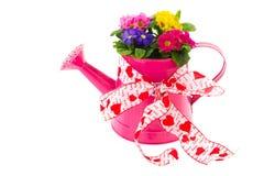 Lata molhando cor-de-rosa com Primroses coloridos Fotografia de Stock Royalty Free