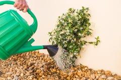 Lata molhando que molha uma planta nova do jasmim Imagens de Stock