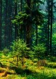 Lata perfumowanie las obraz stock