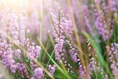 Lata pola kwiatów kwitnąć Zakończenie, kwiecisty tło Fotografia Stock