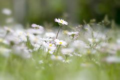 Lata pole z białymi stokrotkami Zdjęcia Royalty Free