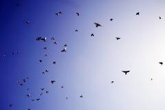 latać ptaków Obraz Royalty Free