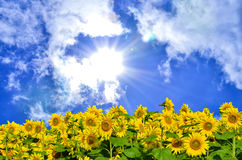 Lata słońce nad słonecznikowym polem Zdjęcia Royalty Free