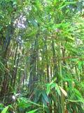 Lata słońce przez bambusowych rośliien Zdjęcie Royalty Free