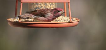 Lata Tanager piosenki ptak Zdjęcie Royalty Free