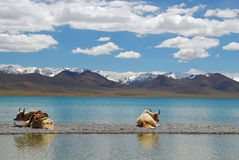 lata två vita yak Royaltyfria Bilder