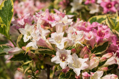 Lata Weigela Obrazy Stock