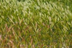 Lata zielony i czerwony spikelet ziele Rolnictwa zielony pszeniczny pole Zdjęcia Royalty Free