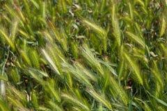 Lata zielony spikelet ziele Rolnictwa zielony pszeniczny pole Obraz Stock