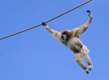 latająca małpa Zdjęcia Royalty Free