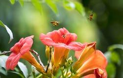 Latająca miodowa pszczoła Obrazy Stock