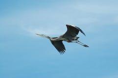 latająca niebieska heron Zdjęcie Royalty Free