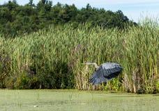latająca niebieska wielkiej heron Obrazy Stock