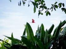 Latająca Piękna ara Zdjęcia Stock