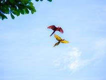 Latająca Piękna ara Fotografia Royalty Free
