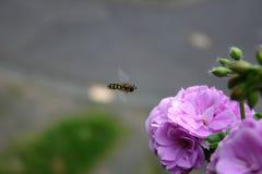Latająca pszczoła Zdjęcia Stock