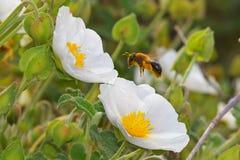 Latająca pszczoła Obrazy Royalty Free