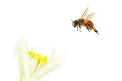 Latająca pszczoła Zdjęcia Royalty Free