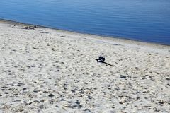 Latająca sroka nad piaska jeziora wybrzeżem Zdjęcie Stock