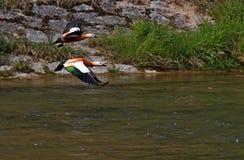 Latające dzikie kaczki nad rzeką fotografia royalty free