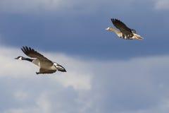 latające gąski Zdjęcie Royalty Free