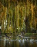 latające gęsi Obraz Royalty Free