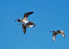 latające gęsi Fotografia Stock