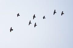 Latające gołąbki Fotografia Stock