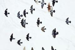 Latające gołąbki nad śnieżnym tłem Zdjęcia Royalty Free