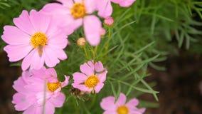 Latające pszczoły i pollen z różowym kosmosem kwitną zbiory