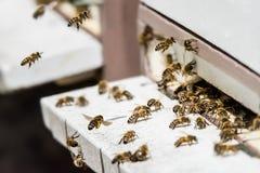 Latające pszczoły ląduje dalej obrazy royalty free