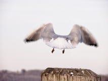 latającego ptaka mewa niebo czyste Zdjęcie Stock