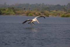 Latającego punktu wystawiający rachunek pelikan Obraz Royalty Free