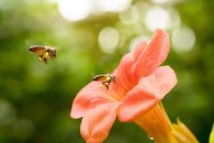 Latającej Miodowej pszczoły zbieracki pollen od pomarańczowych Campsis radicans kwitnie Fotografia Stock