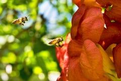 Latającej Miodowej pszczoły zbieracki pollen od pomarańczowych Campsis radicans kwitnie Zdjęcie Stock